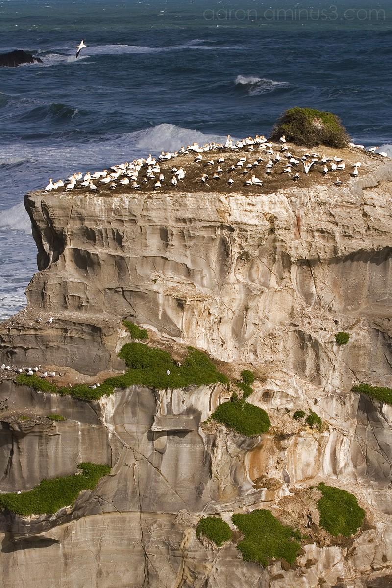 Gannett colony on rock island