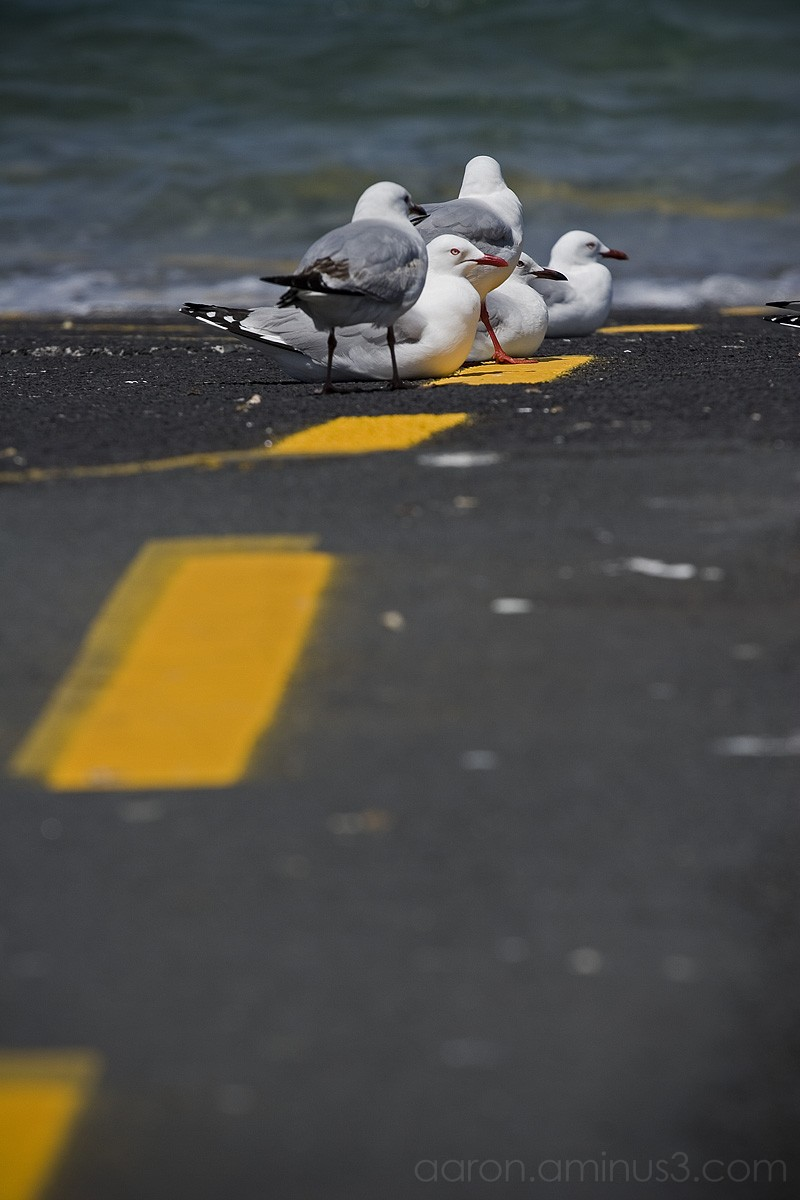 Seagulls along the yellow line