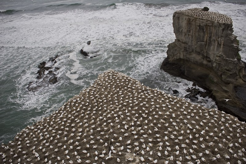 Gannet colony at Muriwai, New Zealand