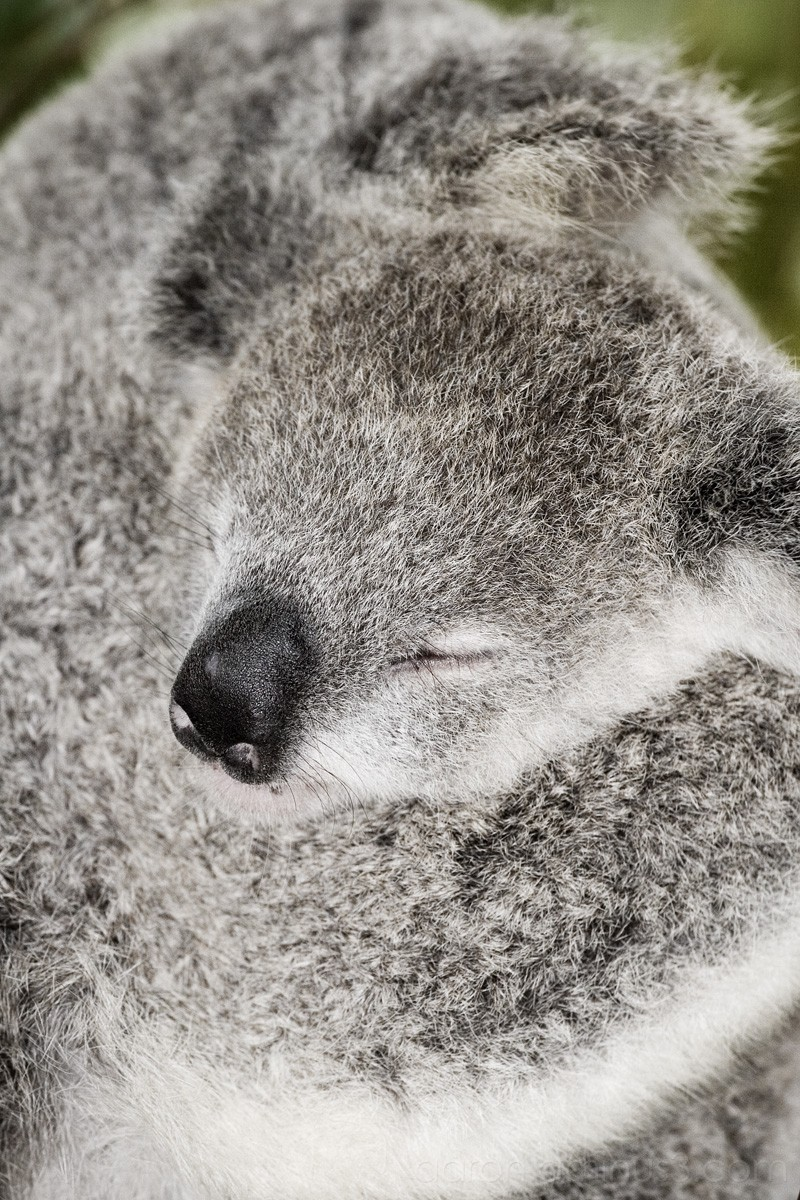 Mother koala holding her baby
