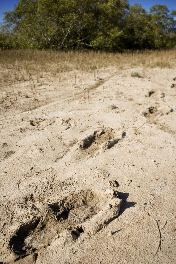 Prehistoric footprints in the mud