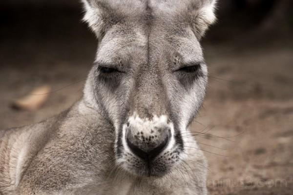 Depressed Kangaroo