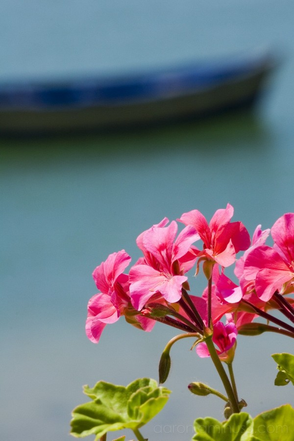 Pink flower with blue boat