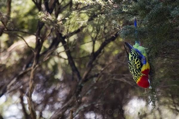 Rainbow Lorikeet Feeding in Tree