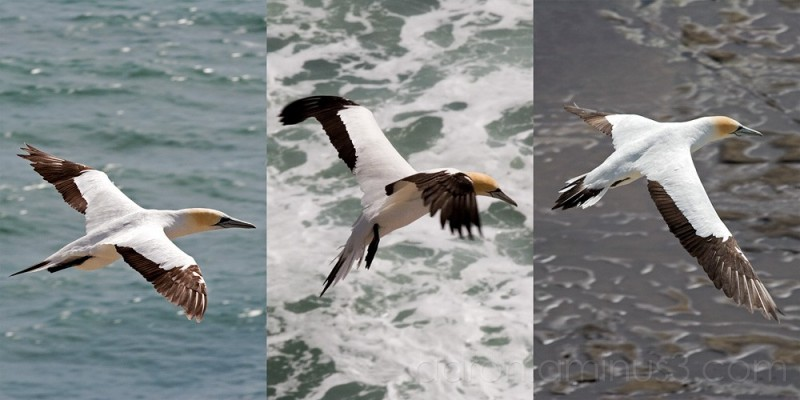 Gannets in flight over Muriwai