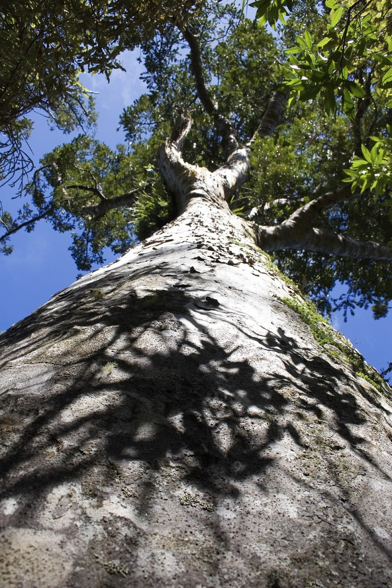 Kauri, giants of New Zealand