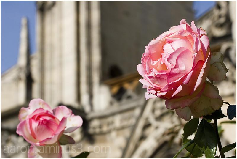 Roses behind Notre Dame
