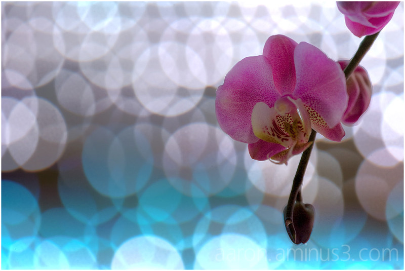 Orchid in the spotlights