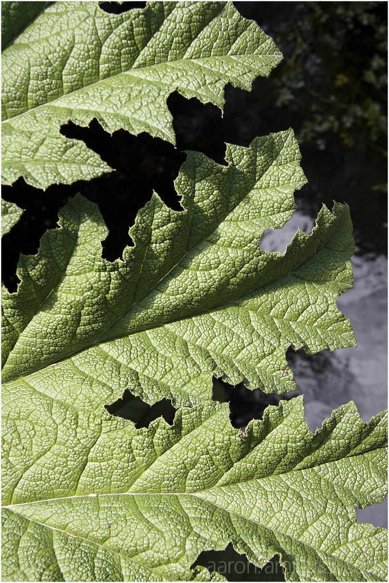 Rugged leaf over river