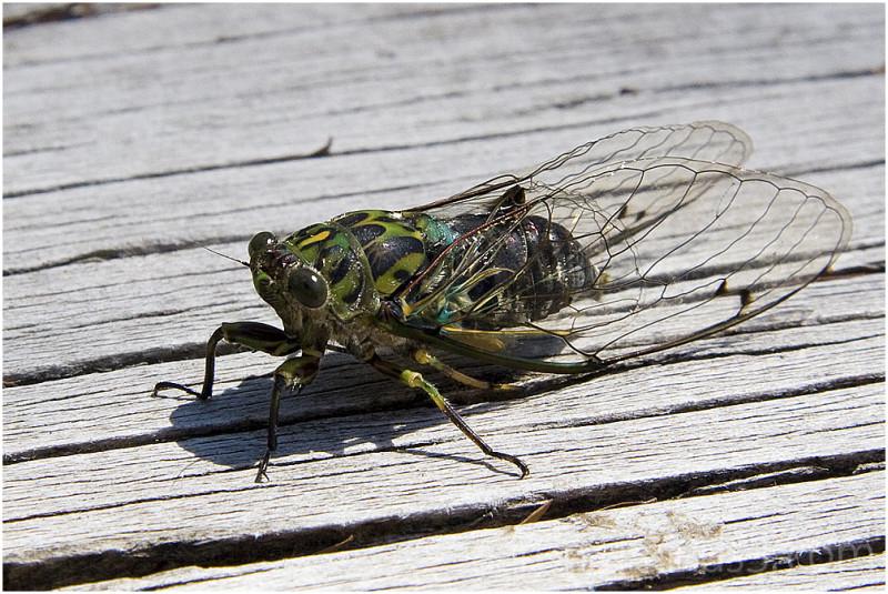 New Zealand Cicada