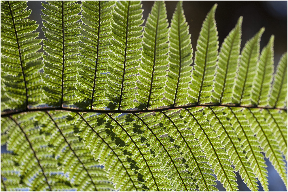 Fern Leaf Detail