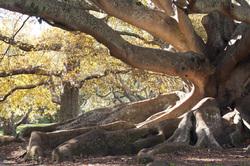 Moreton Fig Tree (Ficus Macrophylla)