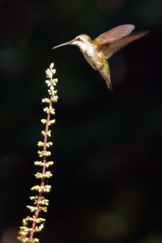 The Return of the Hummingbirds