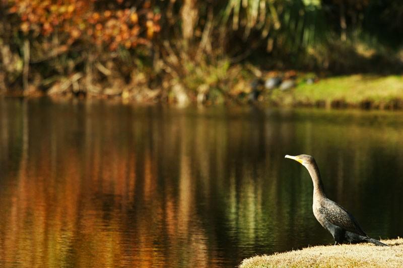 Bird over Still Water