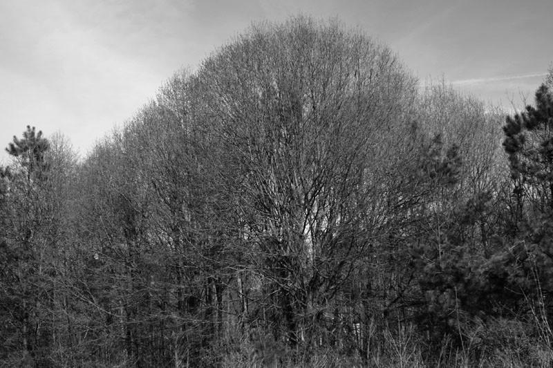 Big Black and White Tree