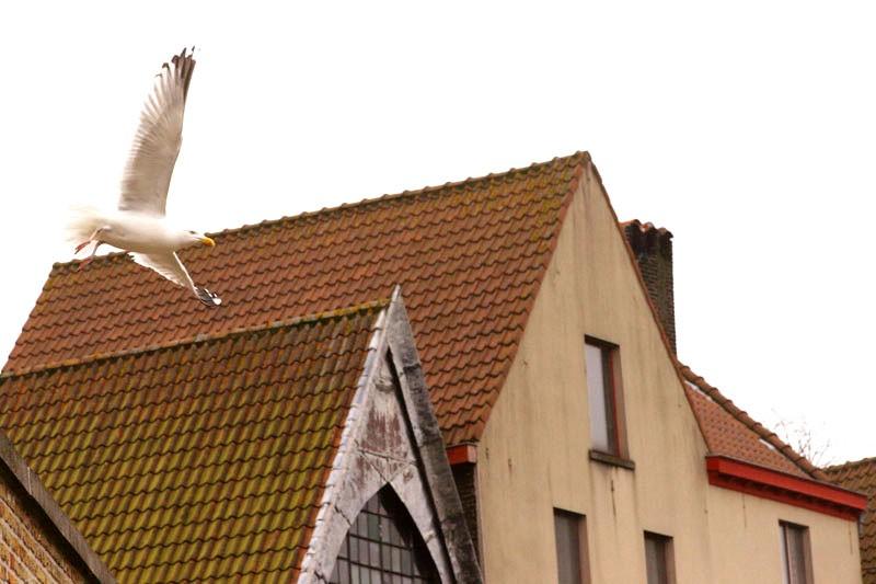 Big Seagull in Flight