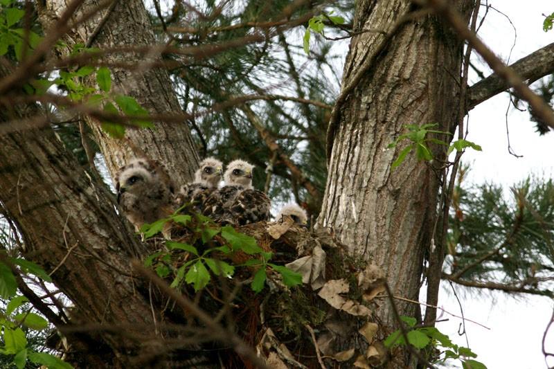 Baby Hawks