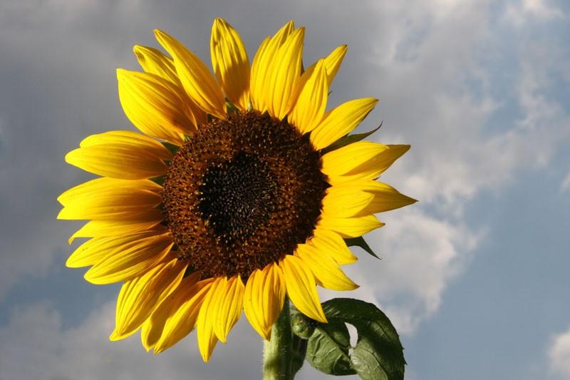 A Flower for the Sun