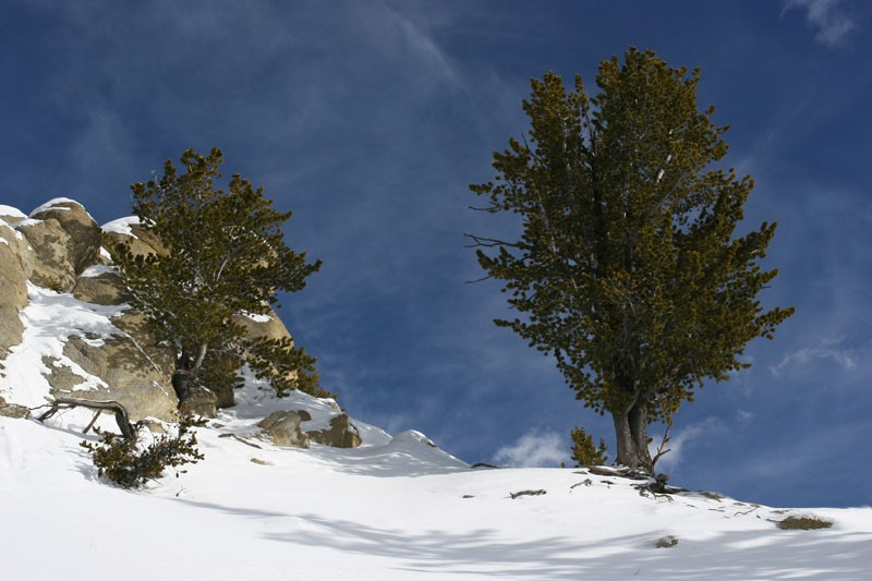 Trees, Snow and a bit of Shadow