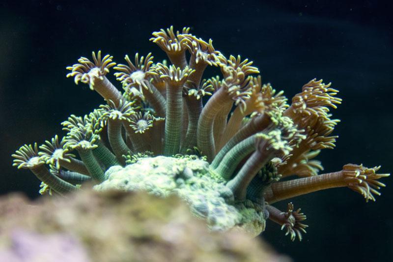 Sea Bloom (green goniapora)