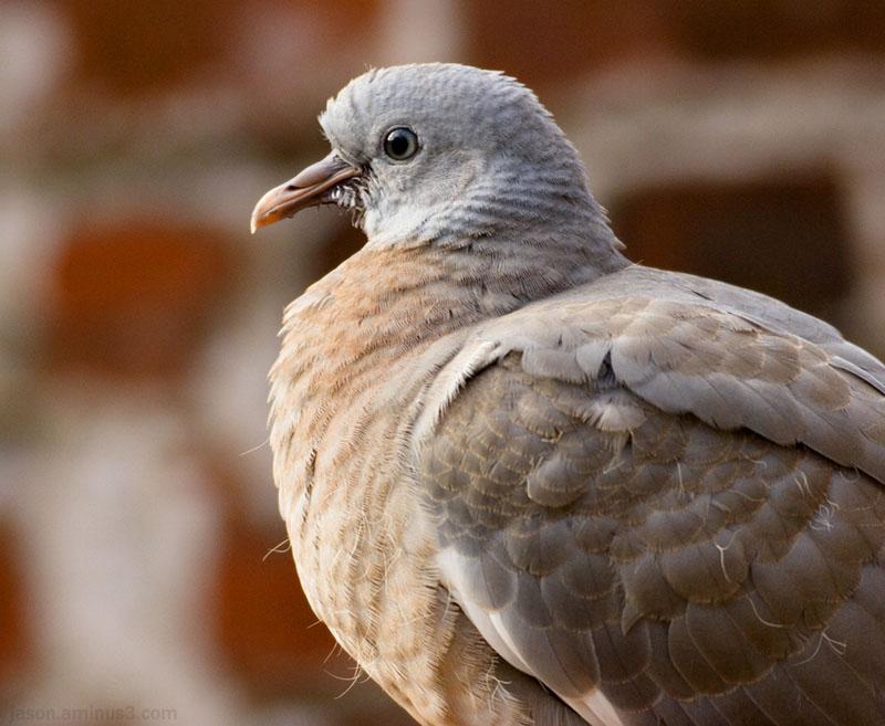 pigeon brick sun beak feathers