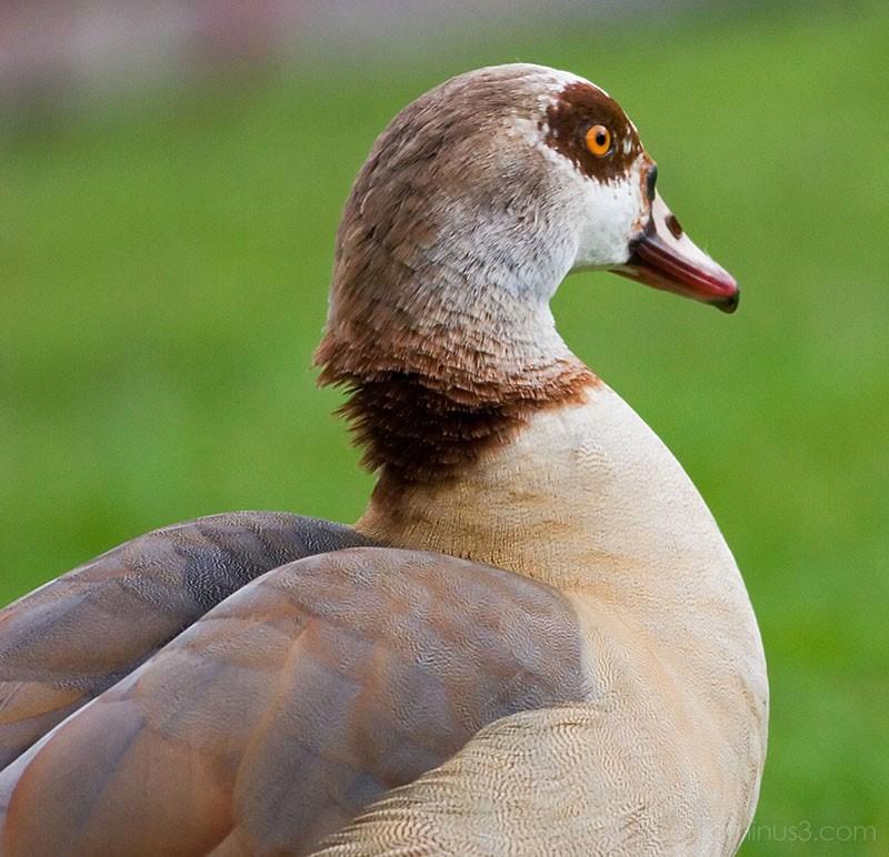 Duck in Park