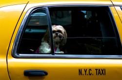 Shitzu in a New York Taxi