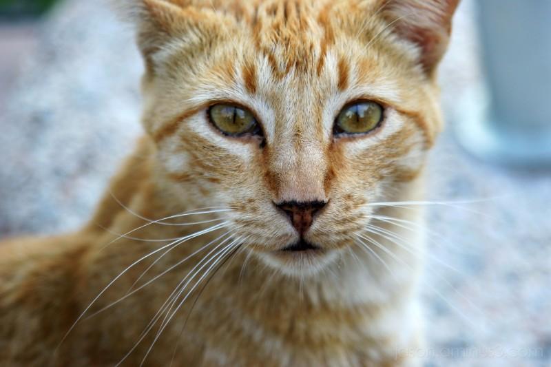wild Spanish cat