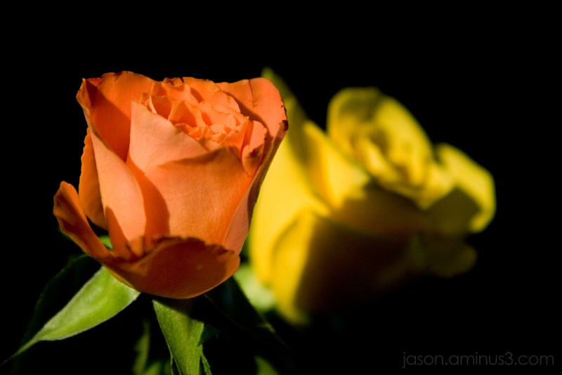 Roses Sunlight Dark Background