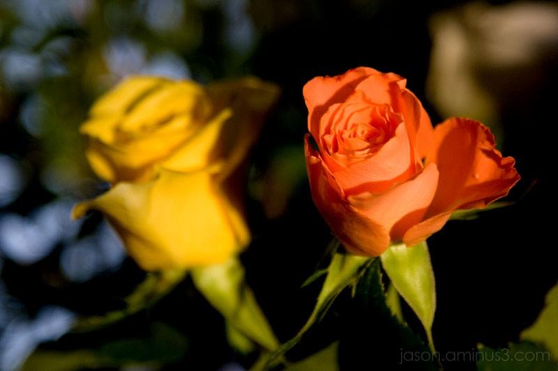 rose on blur