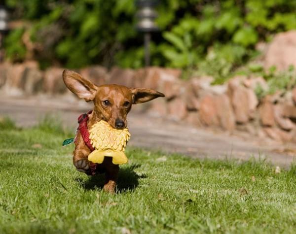 weiner dog Running