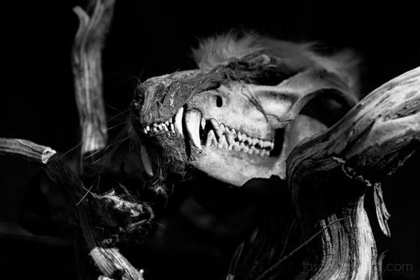 opposum skull