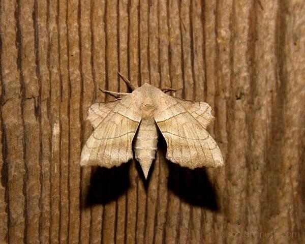 Mothman moth