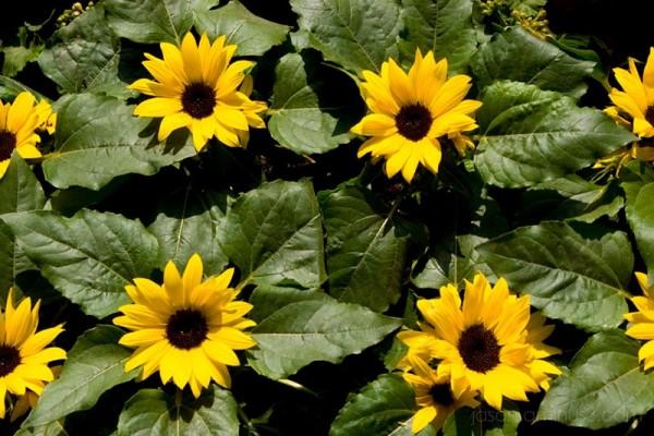 sunflower row