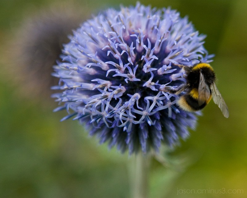 blue flower bee
