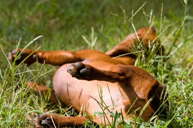 Weiner Dog Roll