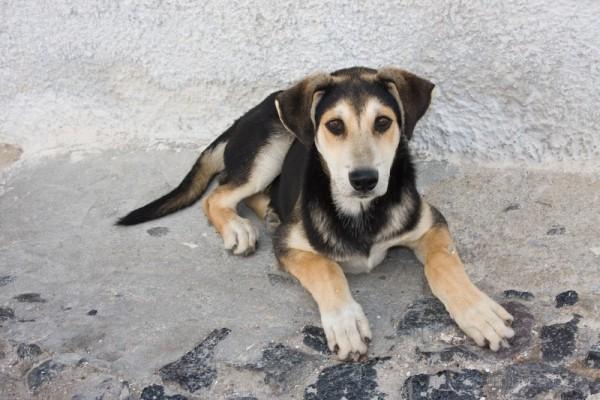 Santorini Puppy