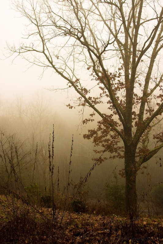 Black Mountain tree fog