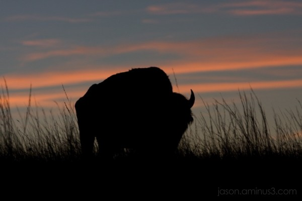 Oklahoma Bison Buffalo Sunset