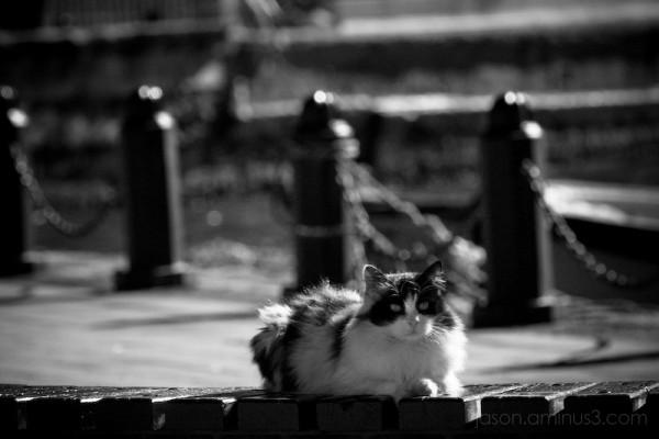 Turkish wildcat