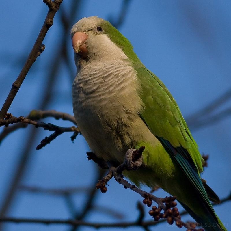 Brussels monk parakeet