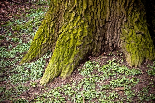 moss tree trunk