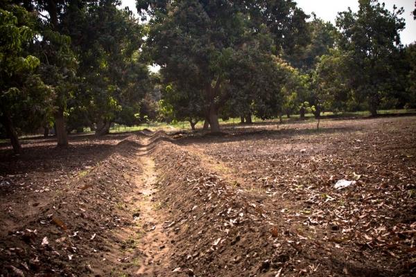 Abu Gurab orchard
