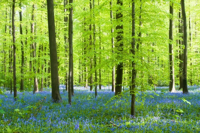 blue hyacinth forest