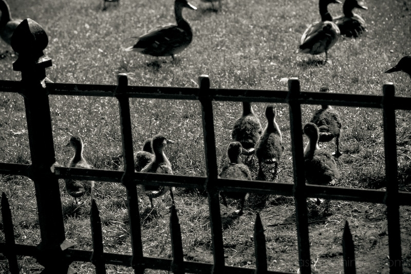 duckling fence