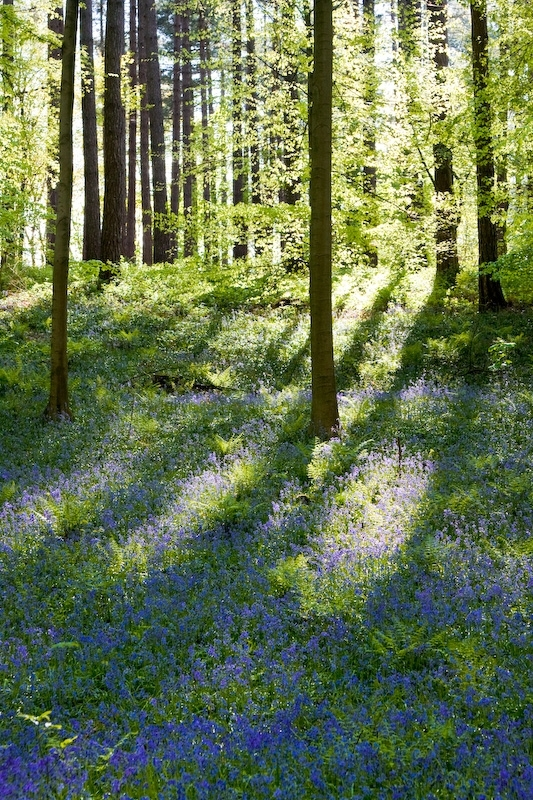 Blue Bells in the Hallerbos