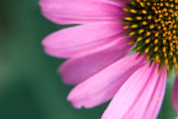 echinacea sunshine