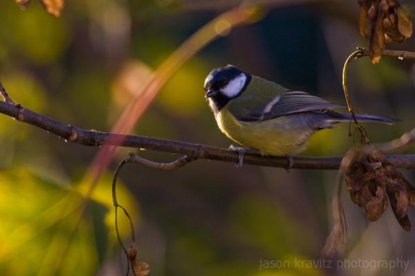 brussels bird