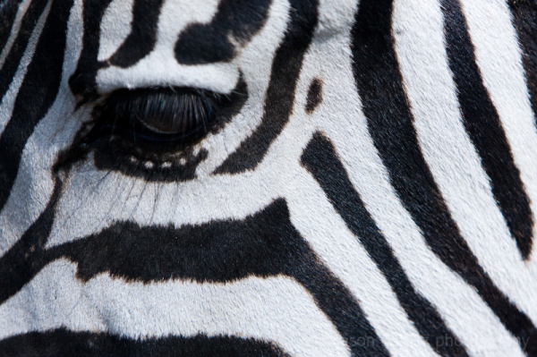 zebra eye stripes