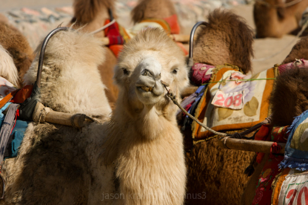 Camels at Dunhuang Sand Dunes